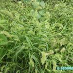 食べられる野草、エノコログサ(ねこじゃらし)の採集