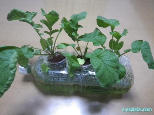 水 耕 栽培 ラディッシュ 水耕栽培でラディッシュを育ててみたよ