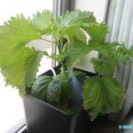 大葉を栽培していると薬味に使えて便利
