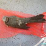 今期最後の空気銃猟、感謝のヒヨドリ一羽GET