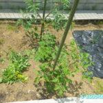 野菜のお手入れ 行灯の除去と支柱立て&芽かき