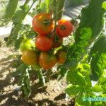 6月末、現在の菜園